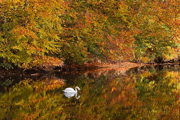 Mute Swan autumn reflection. Oct. '16.
