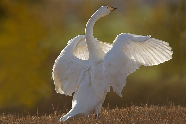 Whooper Swan with raised wings. Nov. '16.