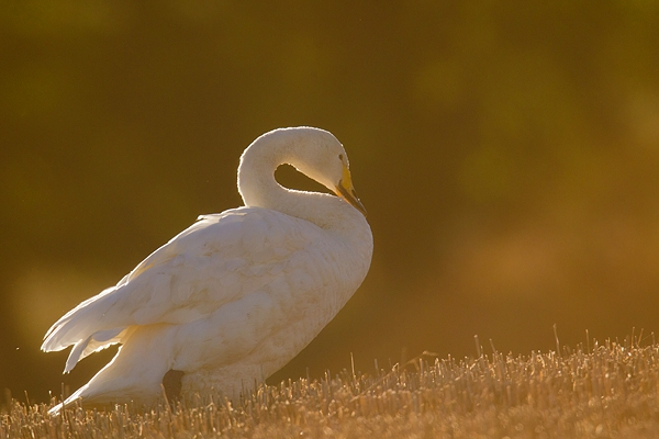 Backlit Whooper Swan. Nov. '16.