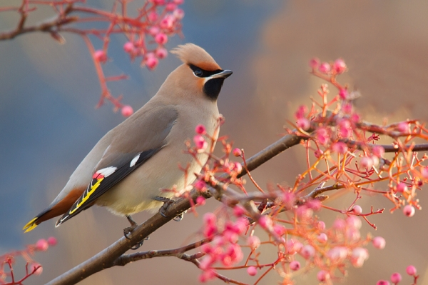 Waxwing on rowan 1. Jan. '17.