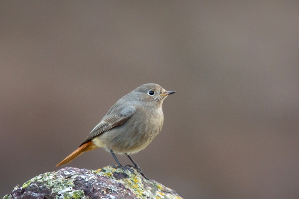 Black Redstart. Jan. '17.