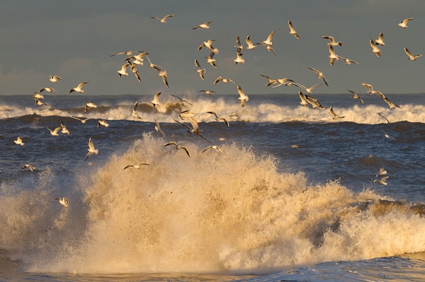 Gulls and Waves 3. Jan. '17.