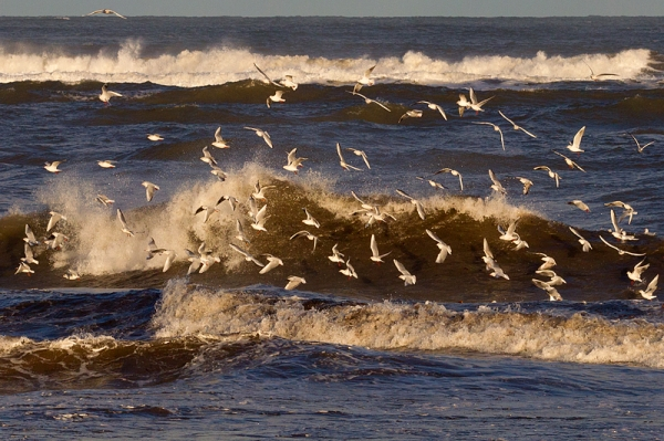 Gulls and Waves 1. Jan. '17.