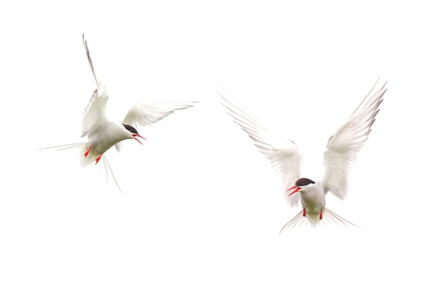2 Arctic Terns, June '16.