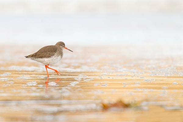 Golden Redshank. Feb '17.