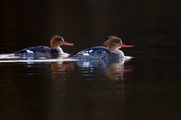2 Female Goosanders. Mar '17.