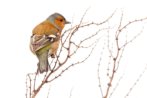 Male Chaffinch. Apr '17.