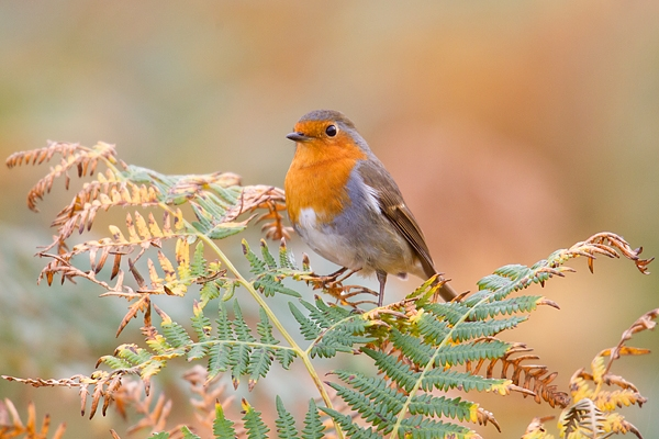 Robin on bracken. Oct. '17.