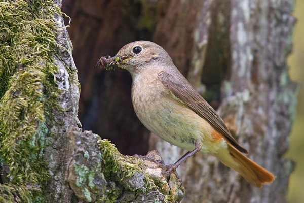 Redstart f with food at nest 1. June '18.