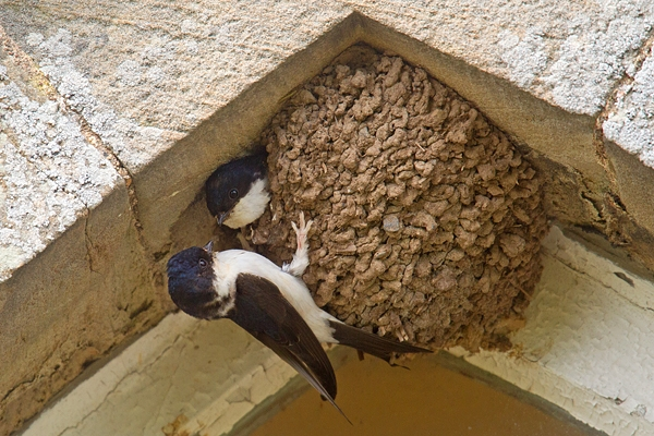 House Martins at nest. June '18.