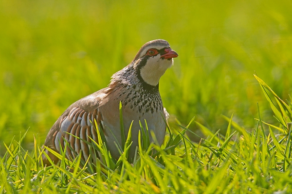 Red legged Partridge in crop 1. Mar '19.
