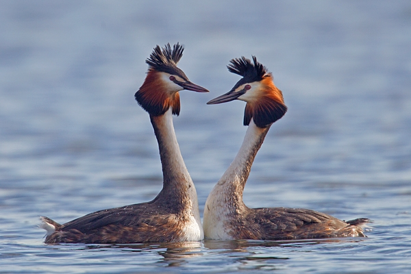 Great Crested Grebes courtship dance 2. Mar '19.