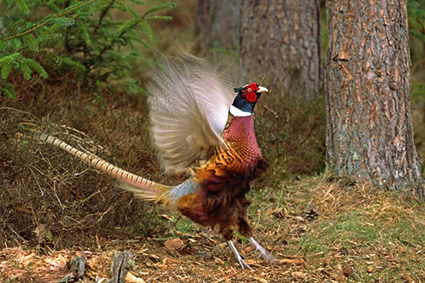 Cock Pheasant,displaying.