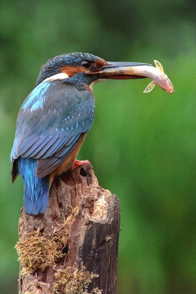 Kingfisher,f with fish.
