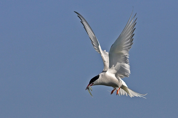 Tern with sand eel.