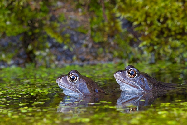 2 Common Frogs. Mar '17.