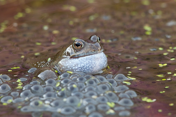 Croaking frog and spawn. Mar '18.