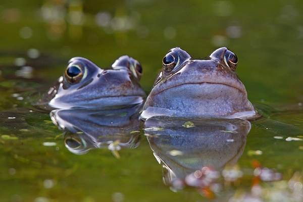 2 male Common frogs. Mar '19.