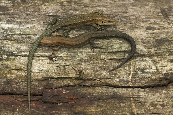 2 Common Lizards.