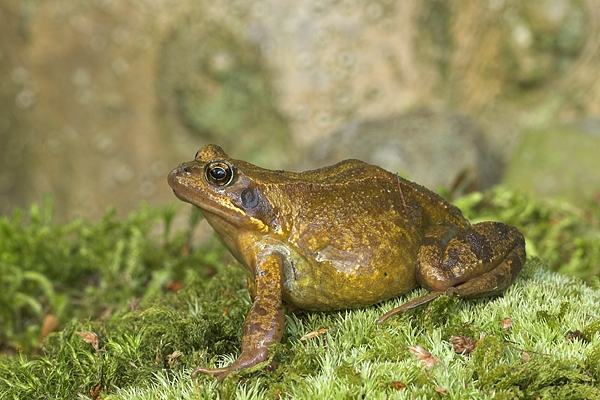 Common Frog on moss.