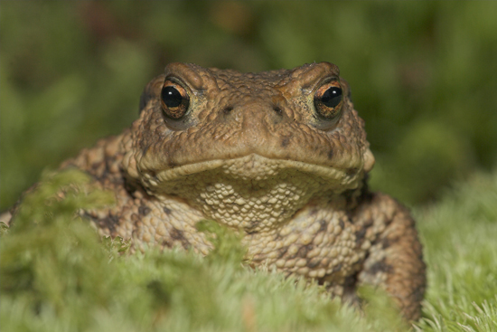 Toad in moss.