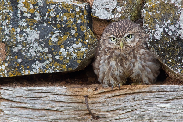 Little Owl fluffed up 1. Oct. '14.