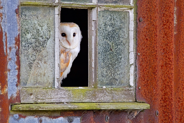 Barn Owl in window 1. Oct. '14.
