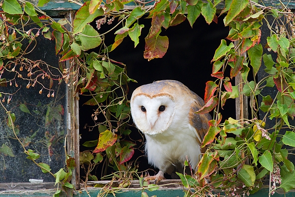 Barn Owl in leaf framed window 1. Oct. '15.
