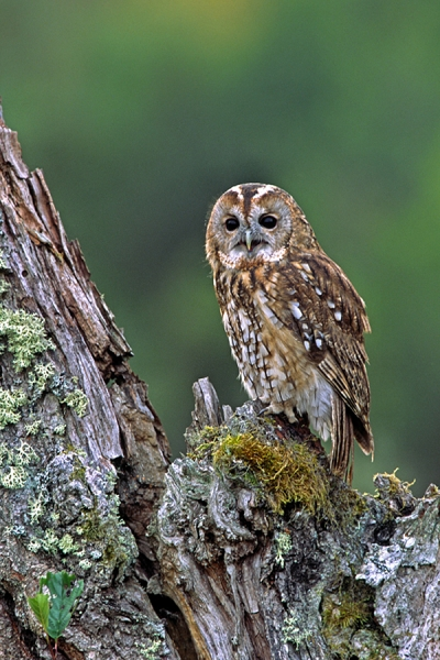 Tawny on stump,calling.