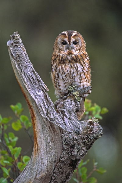 Tawny on upright branch.