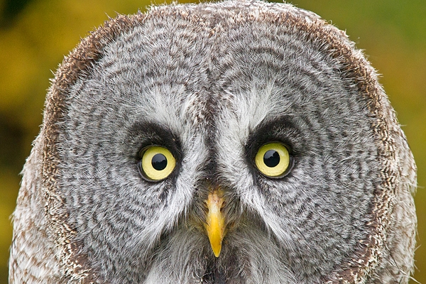Great Grey Owl portrait. Oct. '17.
