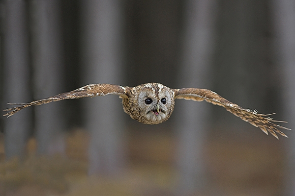 Tawny in flight,calling.