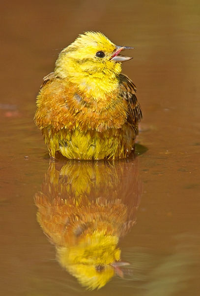 Yellowhammer m. and reflection. June. '15.
