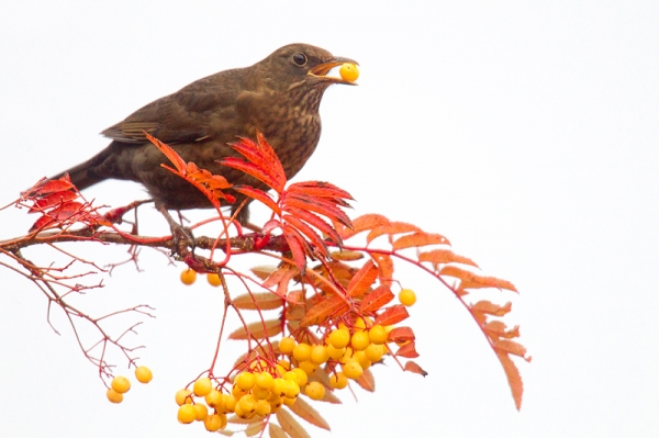 Fem. Blackbird feeding on rowan 3. Nov. '16.