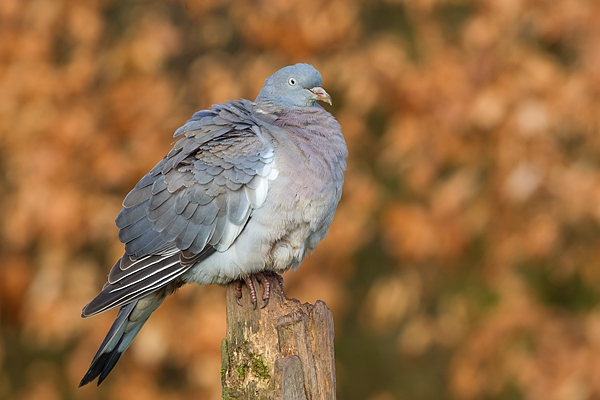 Wood Pigeon on post. Feb '17.
