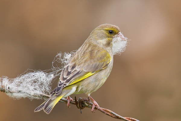 Greenfinch collecting nest material 1. May '17.
