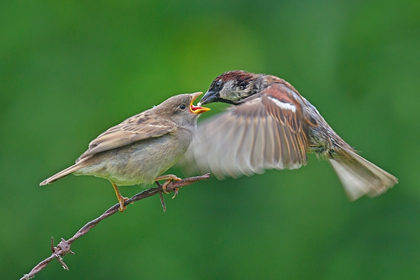 House Sparrow in flight feeds youngster. June '17.