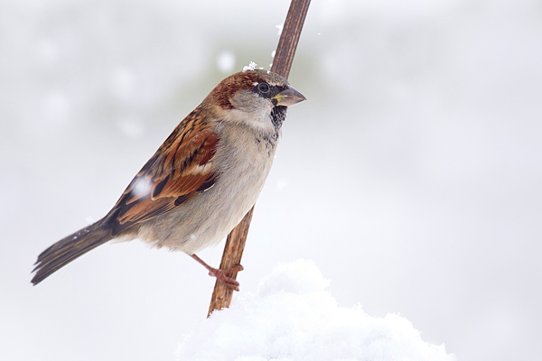 Male House Sparrow on snowy stem Dec '17.