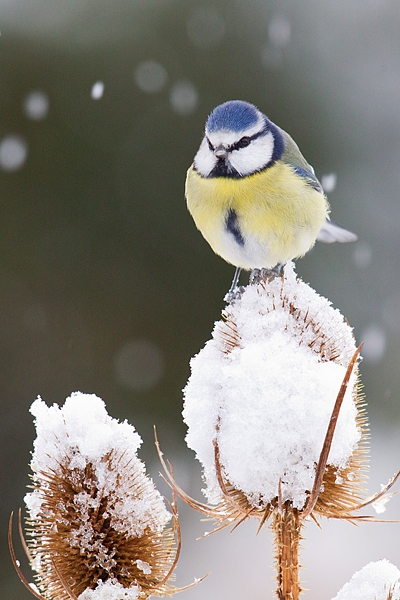 Blue tit on snowy teasel. Dec '17.