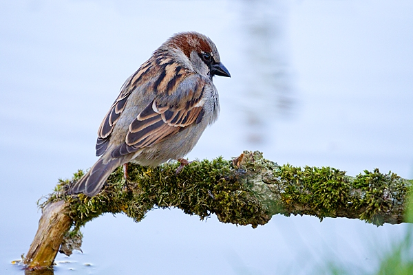 Male House Sparrow on branch overhanging pond. May. '20.