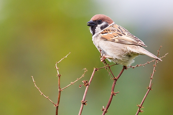 Tree Sparrow on dock stems. June '20.