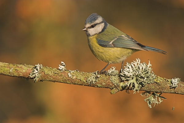 Blue Tit and lichen.