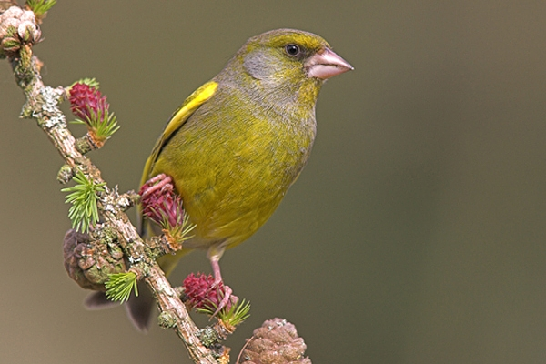 Greenfinch,m on larch cones.