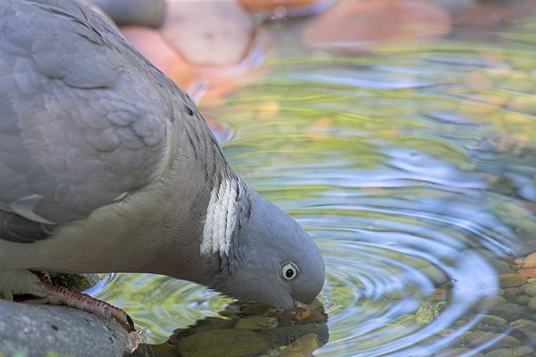 Close up of Wood Pigeon,drinking. Jul '10.