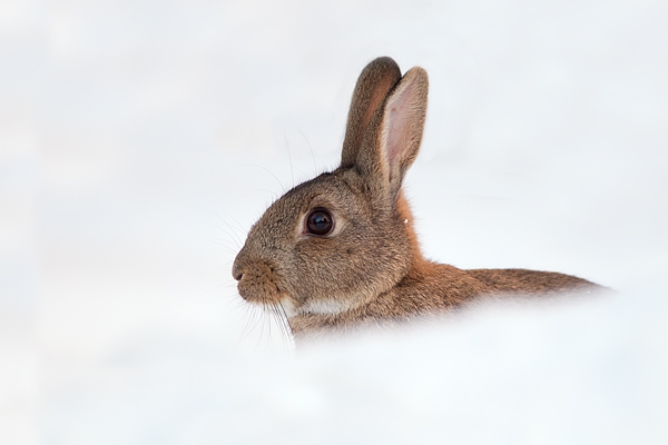 Rabbit in snow. Dec. '10.
