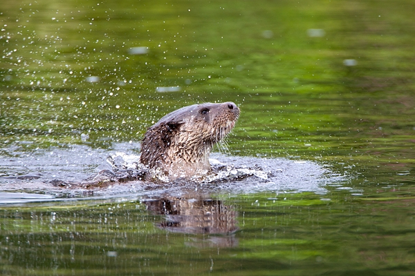Otter rising up through the water. Aug. '11.