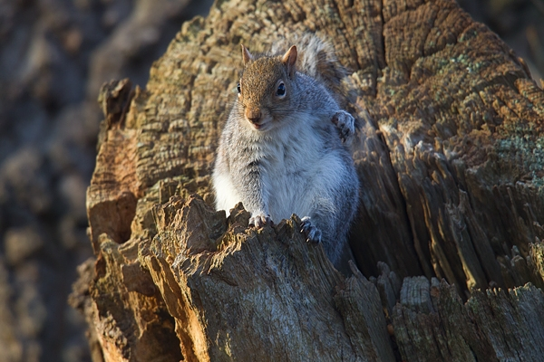 Grey Squirrel at tree hole 2. Dec '17.