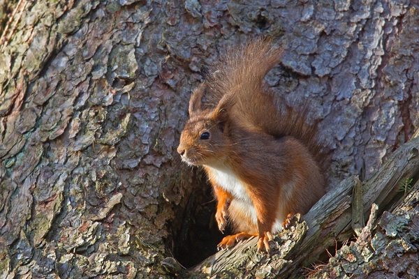 Red Squirrel at larch tree hole 1. Mar '19.