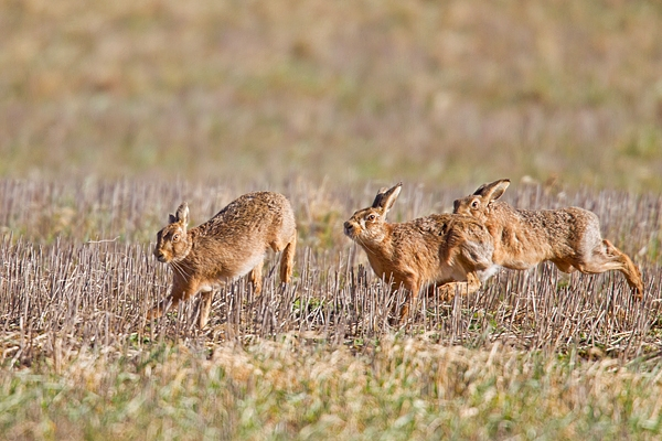 3 Brown Hares chasing. Mar '19.