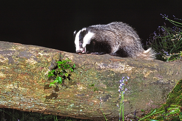 Badger on tree.
